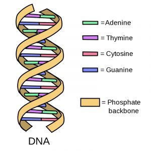 Chromosomes and Your DNA